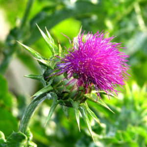 Milk Thistle Whole Bulk by the Ounce