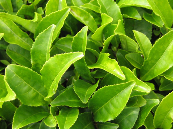 Green Tea Leaf Powder Bullk by the Ounce
