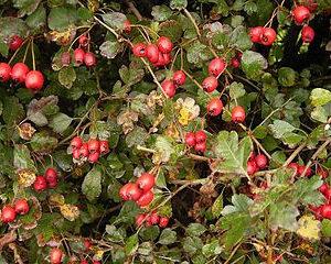 Hawthorne Berry Whole Bulk by the Ounce