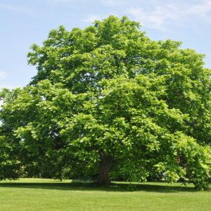 Butternut Tree Bark Powder Bulk By The Ounce