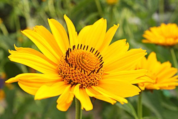 Arnica Flower Whole Bulk By The Ounce