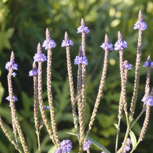 Blue Vervain Cut And Sifted Bulk By The Ounce