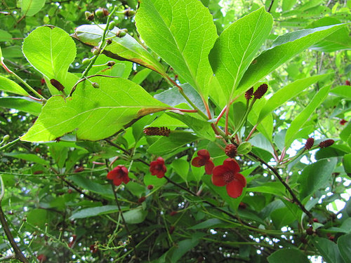 Schisandra Berries Powder Bulk by the Ounce