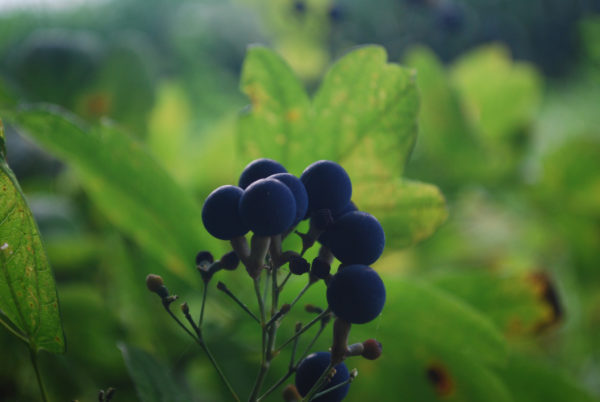 Blue Cohosh Powder by the Ounce