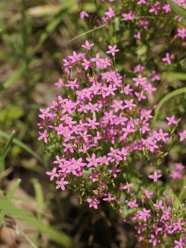 Centaury Herb Cut And Sifted Bulk By The Ounce