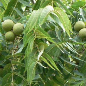 Black Walnut Leaf Powder by the Ounce