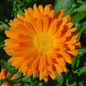 Calendula Flower Powder Bulk By The Ounce