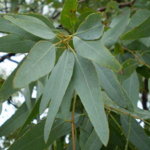 Eucalyptus Leaf Cut And Sifted Bulk By The Ounce