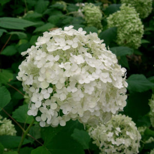 Hydrangea Root Powder Bulk by the Ounce