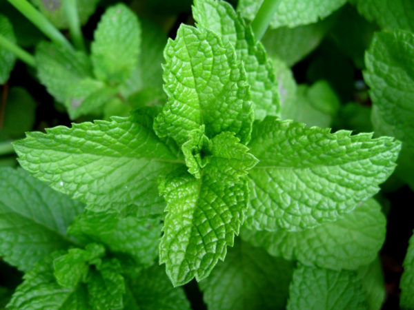 Peppermint Leaf Cut And Sifted Bulk by the Ounce