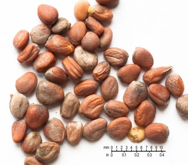 Radish Seed Powder Bulk By The Ounce