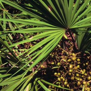 Saw Palmetto Berry Powder Bulk By The Ounce