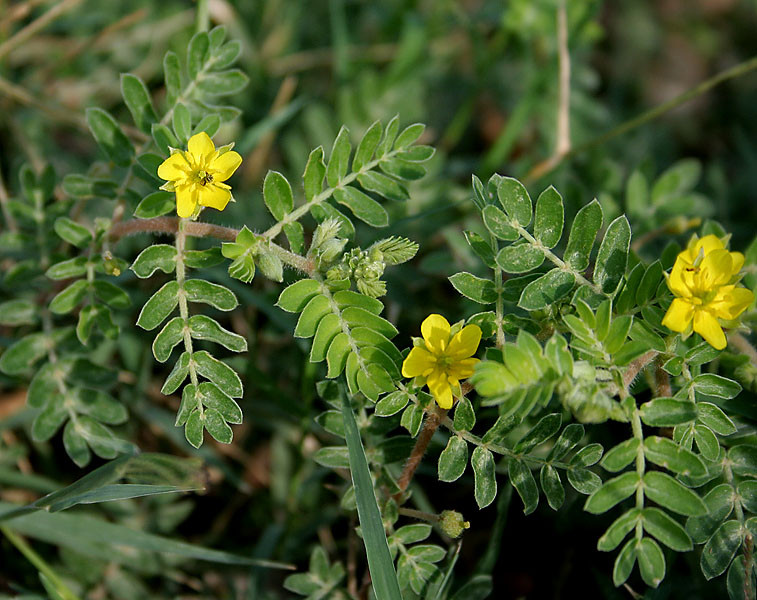 Image result for tribulus terrestris