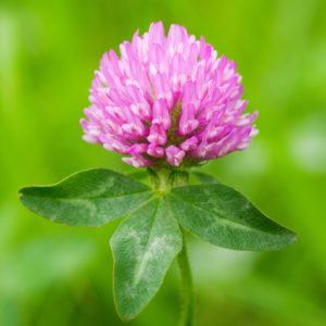 Red Clover Blossom Whole Bulk by the Ounce