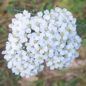 Yarrow Flowers Cut And Sifted Bulk By The Ounce