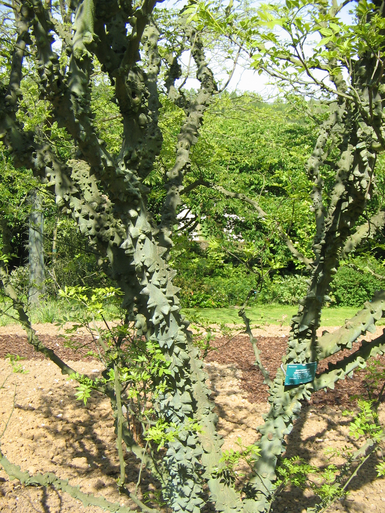 Prickly Ash Bark Powder Bulk By The Ounce