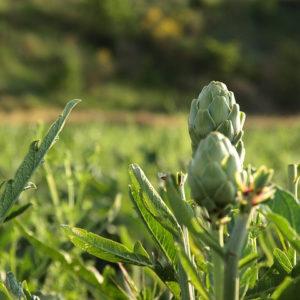 Artichoke Leaf Powder Bulk By The Ounce