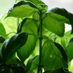 Basil Leaf Cut And Sifted Bulk By The Ounce