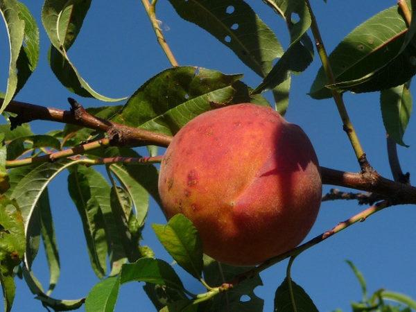 Peach Leaf Powder Bulk By The Ounce